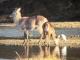 waterbuck-reflections