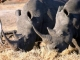 white-rhino-mosi-oa-tunya