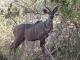 young-male-kudu