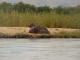 zambezi-river-hippos