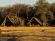buffalo-at-camp-waterhole