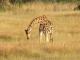 giraffe-preparing-to-drink