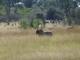 lion-at-a-distance