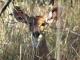 shy-bushbuck