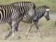 strolling-zebras