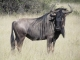 wildebeest-hwange-national-park_0