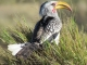 yellow-billed-hornbill_0