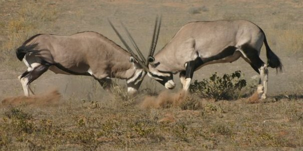 kalahari-oryx