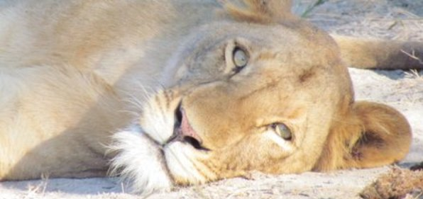 lazy-lioness