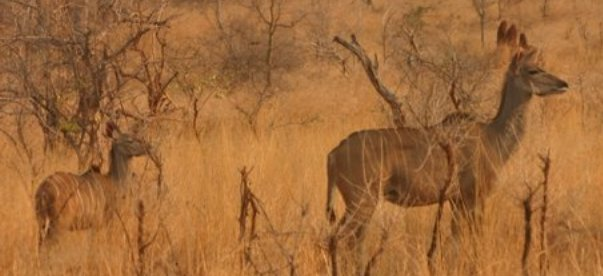 female-kudu-with-calf