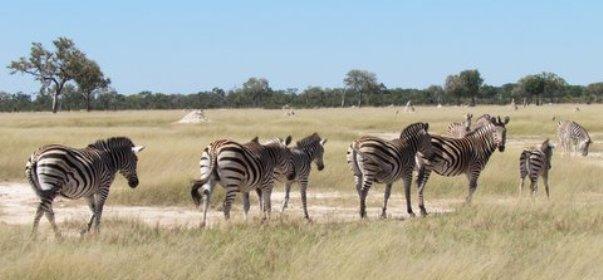 zebras-hwange