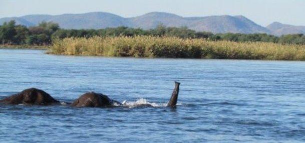 elephants-crossing-zambezi-river