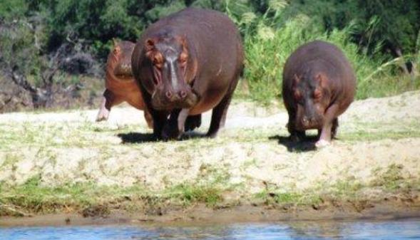 hippos-heading-for-water