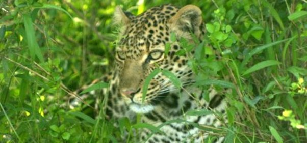 close-up-leopard