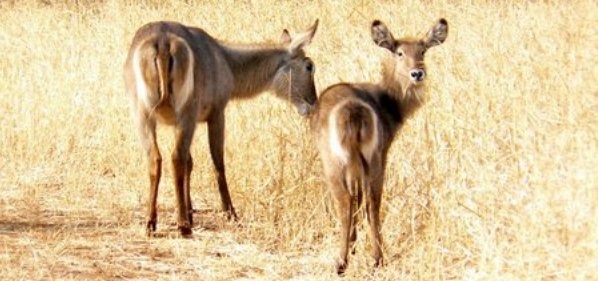 common-waterbuck