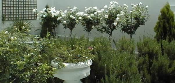 leeuwenvoet-rose-garden