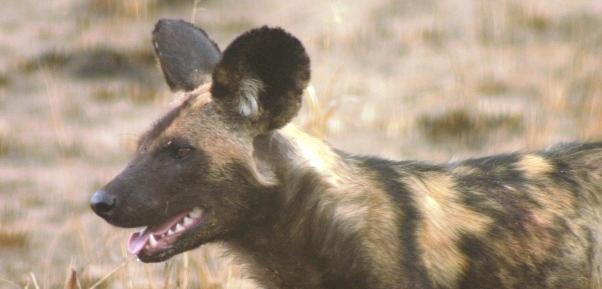wild-dog-tarangire