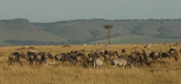 wildebeest-and-zebra-masai-mara