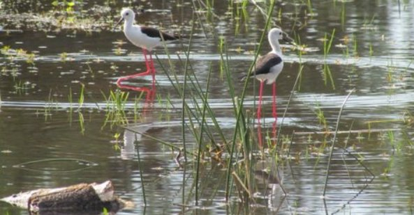 black-winged-stilts