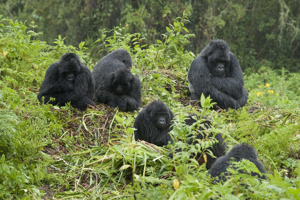 bwindi-safari-gorillas