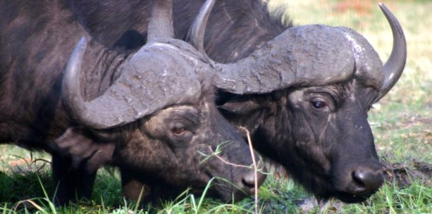chobe-buffalo-header